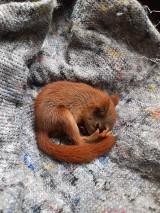 Pracownicy restauracji Umberto na Cytadeli uratowali wiewiórkę, która wypadła z gniazda. Pomogli weterynarze z Uniwersytetu Przyrodniczego