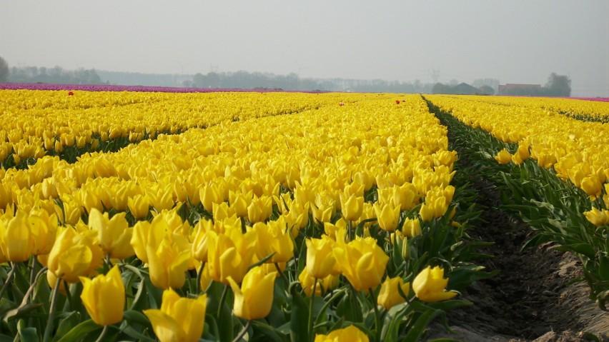 pola tulipanów...