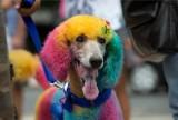 Karnawał w Rio de Janeiro w... psim wydaniu