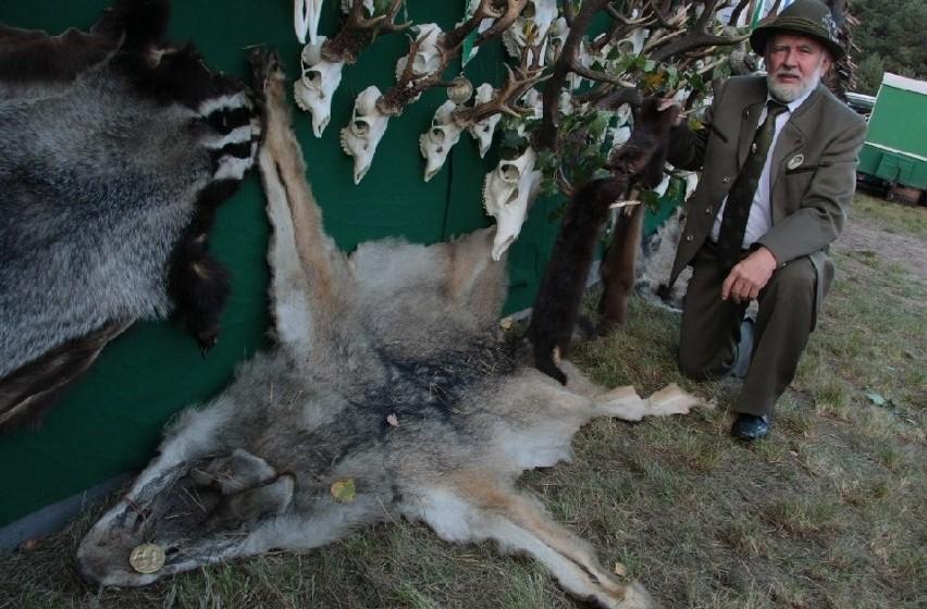 - To skóra wilka ustrzelonego przeze mnie 22 lata temu. To był ostatni wilk w puszczy. Teraz wrócili do niej jego krewniacy - mówi Zdzisław Belina, myśliwy ze Świniar pod Skwierzyną.