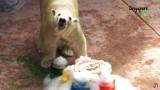 Inuka, cudowny niedźwiedź polarny nie żyje! [ZDJĘCIA + WIDEO] Co zabiło potężnego zwierzaka?