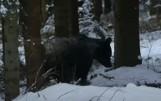 """Podleśniczy nagrał wideo, jak zamyślony niedźwiedź przechodzi w lesie tuż koło niego. """"Idź sobie, idź, nie oglądaj się"""""""