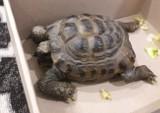 Cud w Kruszwicy. Żółw wrócił do domu po 11 miesiącach tułaczki