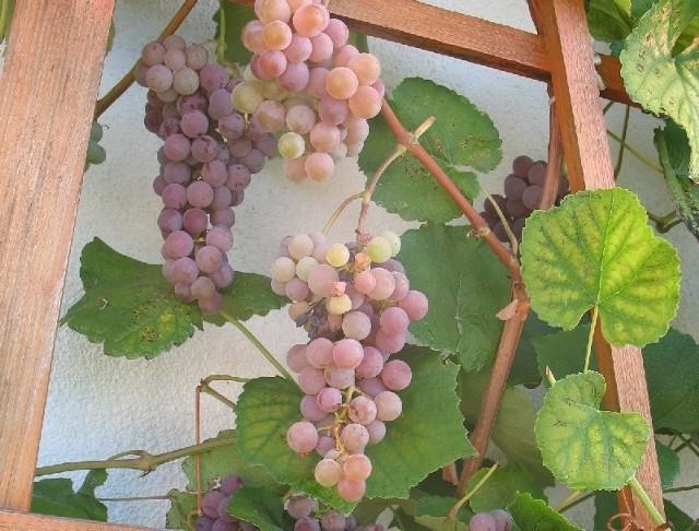 WinogronaWinogrona lubią się wygrzewać w słońcu. Są wtedy słodsze. Pamiętajmy o tym, wybierając miejsce dla krzewów winorośli.