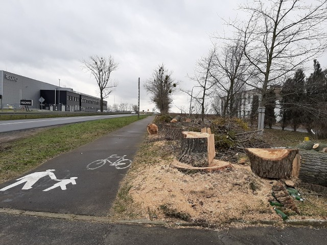 W minionym tygodniu ścięty został szpaler drzew wzdłuż ścieżki rowerowej biegnącej od Świebodzina w kierunku Chociul. Drzewa rosły w pasie drogi należącym do Zarządu Dróg Wojewódzkich w Zielonej Górze, jednak zezwolenie wydała gmina. ZDW potwierdziło usunięcie 37. drzew topoli kanadyjskiej, rosnącej wzdłuż ścieżki rowerowej, na podstawie decyzji burmistrza Świebodzina. - Drzewa stanowiły zagrożenie dla ruchu drogowego, ludzi i mienia. W najbliższym sezonie wegetacyjnym zostaną wykonane nasadzenia zastępcze w ilości 82 sztuki, w pobliżu miejsc po usuniętych drzewach - informuje Paweł Tonder, dyrektor ZDW.  Zobacz też: Wycinka drzew w Parku Tysiąclecia w Zielonej Górze. Mieszkańcy oburzeni. 18.02.2020