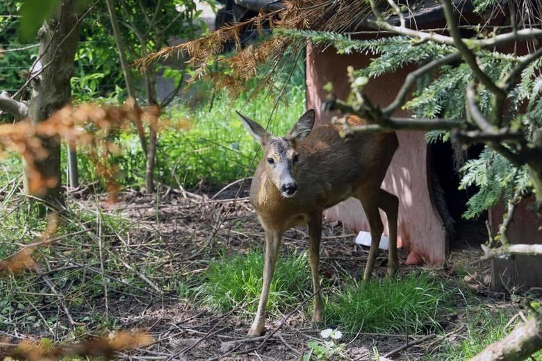 W ośrodku rehabilitacji dzikich zwierząt leczone miałyby być np. te zwierzęta poszkodowane w wypadkach samochodowych