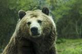 Armenia: Polacy zaatakowani przez niedźwiedzia na górze Aragac. 33-latek nie żyje