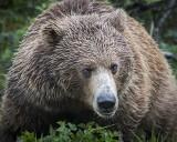 Zaatakowany przez niedźwiedzia Kanadyjczyk przeżył, bo użył scyzoryka