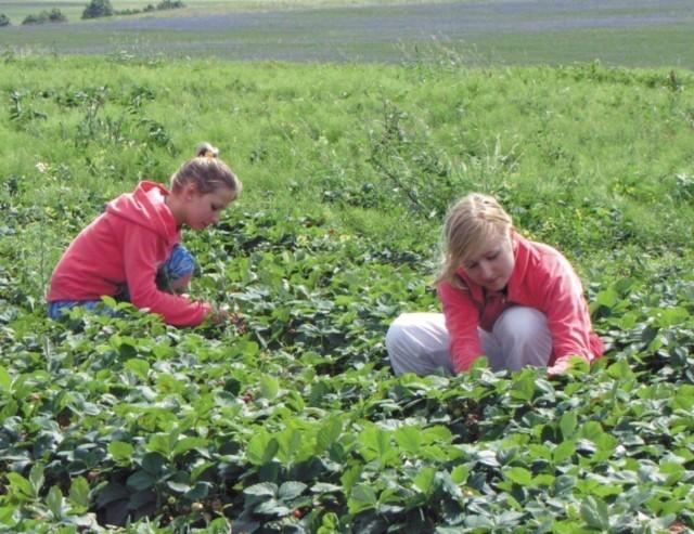 Suwalscy przedsiębiorcy poszukują chętnych do pracy przy zbiorze truskawek. Za kobiałkę oferują od 2 do 3 złotych. Z tej propozycji najczęściej korzysta młodzież.