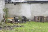 Dziki w Słupsku coraz śmielej i odważniej wchodzą do centrum miasta. Urzędnicy mają na nie odłownie i substancję odstraszającą