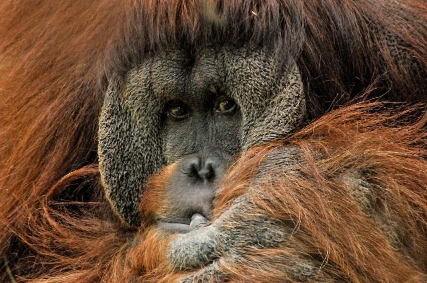 Orangutan Borneański...