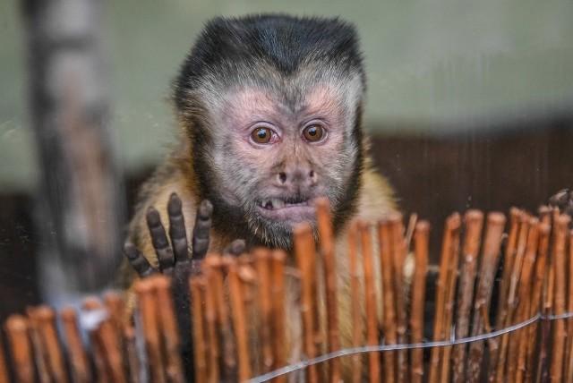 Małpka kapucynka zamieszkała w Starym Zoo