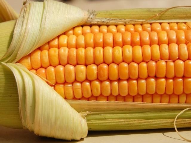 Kukurydza posypała się ze źle zabezpieczonej przyczepy samochodowej.