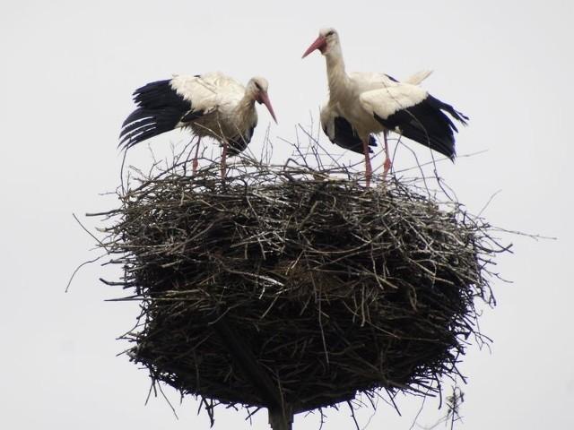 Gniazdo bocianów w okolicy Swołowa. Mieści się na specjalnym, wsporniku. Od lat wspornik przygotowują dla ptaków pracownicy koncernu Energa SA.