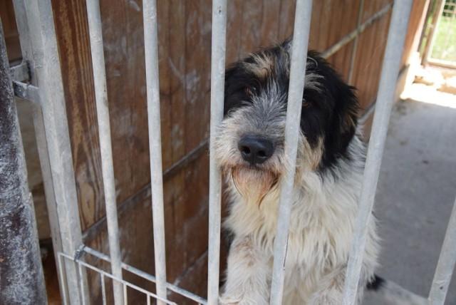 W zielonogórskim Schronisku dla Bezdomnych Zwierząt czekają psy, które można wyprowadzić na spacer.