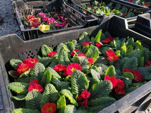 Na bazarze przy giełdzie samochodowej można kupić warzywa, owoce, ale także sadzonki drzew, krzewów i roślin ozdobnych. Takie wypatrzyliśmy na targowisku dzisiaj.