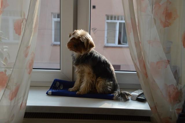 Zaczipowanie psa może się przydać np. wtedy, gdy nasz pupil się zagubi.
