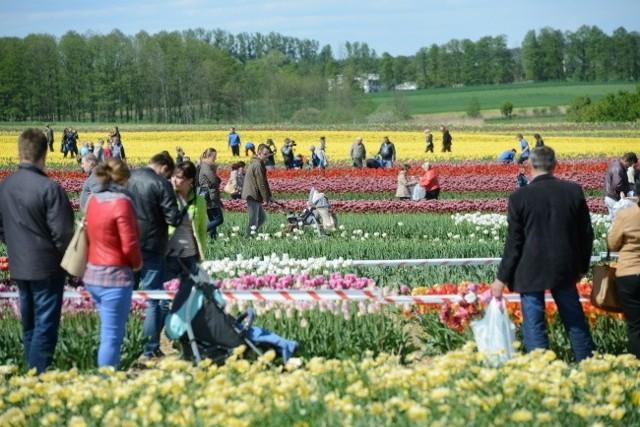 W Chrzypsku Wielkim trwają Międzynarodowe Targi Tulipanów. Podczas targów zaprezentowana została nowa odmiana tych kwiatów, nosząca nazwę Leszek Miller.