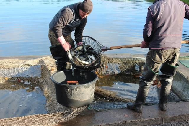Jesienne zarybianie jezior w regionie to już tradycja.