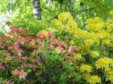 Jak dbać o różaneczniki, rododendrony i azalie. Pielęgnacja, gleba i nawożenie krzewów ozdobnych 25.07.2021