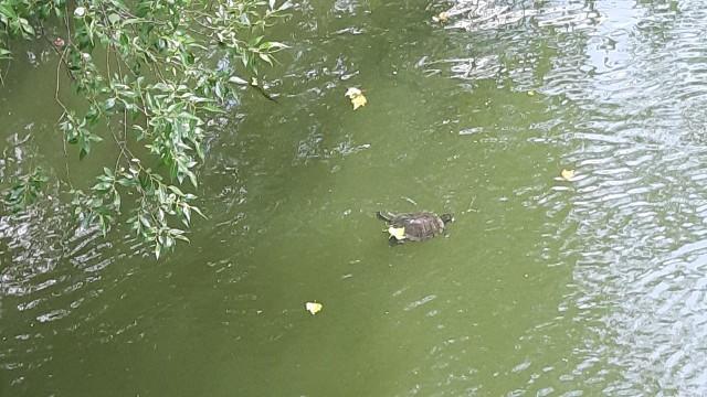 We wrocławskiej fosie miejskiej podziwiać można żółwie ozdobne