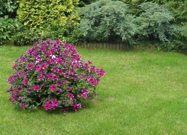 TrawnikTrawnik z rolki będzie cieszył oko zaraz po ułożeniu, na ten z siewu trzeba czekać kilka tygodni. Jednak trawa, niezależnie czy pochodzi z siewu czy z rolki, potrzebuje dobrze przepuszczającego wodę podglebia oraz pieszczysto-gliniastej warstwy wierzchniej o grubości 20-30 cm. Optymalna kwasowość gleby, czyli wskaźnik tzw. pH wynosi 5,5-7,0.