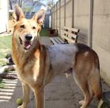 Pies raniony maczetą w Wielkanoc doszedł do siebie i w schronisku przy ul. Marmurowej czeka na nowy, prawdziwy dom