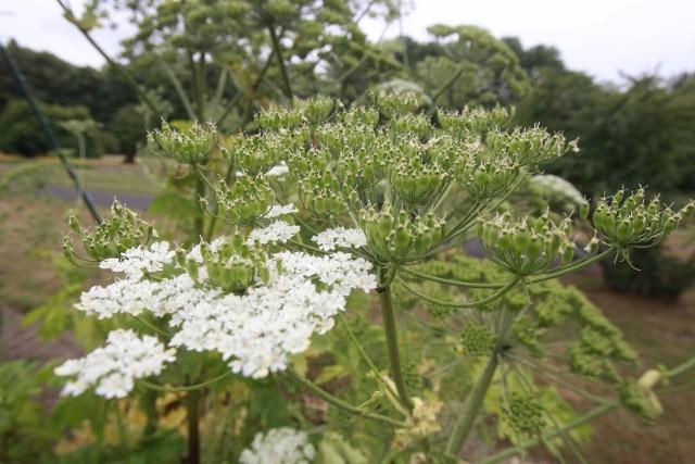 Barszcz Sosnowskiego jest rośliną szkodliwą dla ekosystemu i niebezpieczną dla człowieka. Kontakt z nią może powodować oparzenia.