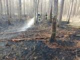 Spłonęło około 12 arów lasu w Miedzichowie. Nadleśnictwo Bolewice podejrzewa, że przyczyną jest podpalenie
