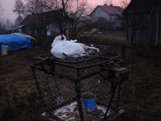 Nielegalna pułapka na drapieżne ptaki w Knurowcu
