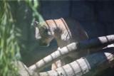 Puma Nubia chodziła na spacery i brała udział w sesjach. Da się oswoić dzikiego kota? Do tresury potrzebna była kolczatka i dławik
