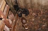 Makabryczne odkrycie w Chełmnie. 15 martwych psów! [zdjęcia]