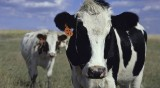 Krowa ciężko raniła mężczyznę