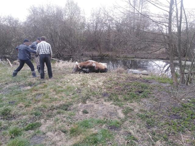We wtorek w południe we wsi Wilkołaz Drugi do sadzawki wpadła krowa