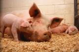 Jak ASF wpływa na hodowlę świń w Polsce? Postępuje koncentracja produkcji