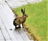 Dzikie zwierzęta w mieście. Zając zamieszkał na terenie Zespołu Szkół Agrotechnicznych w Sławnie [zdjęcia, wideo]