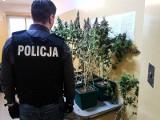 Policjanci zlikwidowali plantację konopi na osiedlu w Zielonej Górze [WIDEO, ZDJĘCIA]