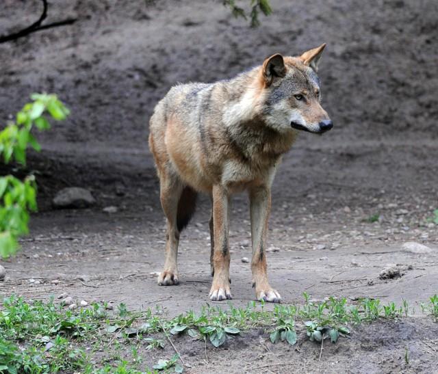Wilki to zwierzęta drapieżne, objęte ścisłą ochroną od 2016 roku. Wilków nie można więc umyślnie zabijać, chwytać, okaleczać, płoszyć czy niepokoić. Złamanie tych zakazów grozi dużym mandatem, a nawet karą wiezienia. Są jednak sposoby, by z wilkiem żyć w zgodzie i bez obaw.