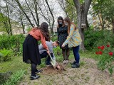 Studenci UMB zasadzili dąb pamięci położnej z Auschwitz. Kim jest Stanisława Leszczyńska? (ZDJĘCIA)
