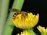 Pszczolinka – pszczoła samotniczka, czego o niej nie wiedziałeś