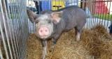 Nowa świńska moda: kolczyk w uchu, tatuaż na tyłku