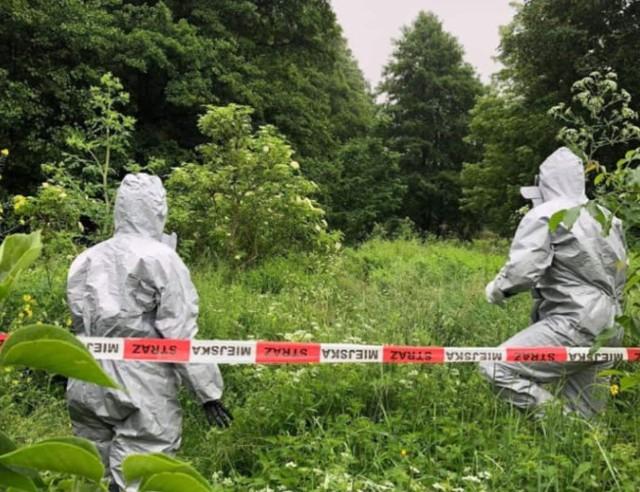 Eko Patrol łódzkiej straży miejskiej zabezpieczał w Łodzi gigantyczne zagęszczenie rośliny zwanej barszczem Sosnowskiego. Kliknij dalej