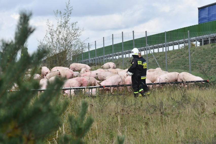 Świnie rozładowywane są do specjalnie wydzielonej strefy.