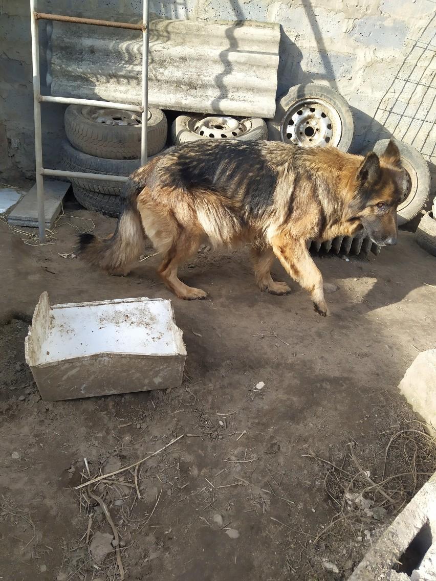 Żyły w tragicznych warunkach. Zdjęcia z hodowli psów w...
