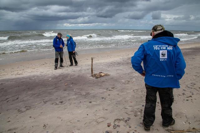 Interwencje do martwych fok w Ustce przeprowadził wolontariusz BP, Oskar Skumiał