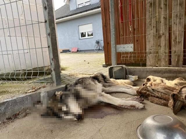 W Wołowie 44-letnia Agnieszka P. zagłodziła na śmierć suczkę w typie huskiego.