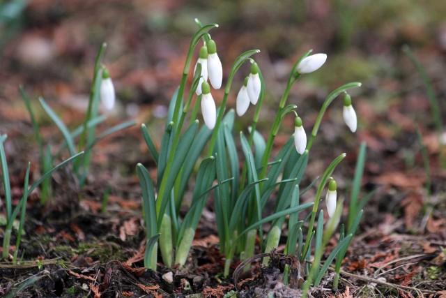 Pierwsze oznaki wiosny już w Parku Śląskim. Zakwitły przebiśniegi