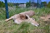 Rozszarpane młode daniele i zniszczone ogrodzenie w Ćmińsku. Zaatakowały wilki? [Drastyczne zdjęcia]