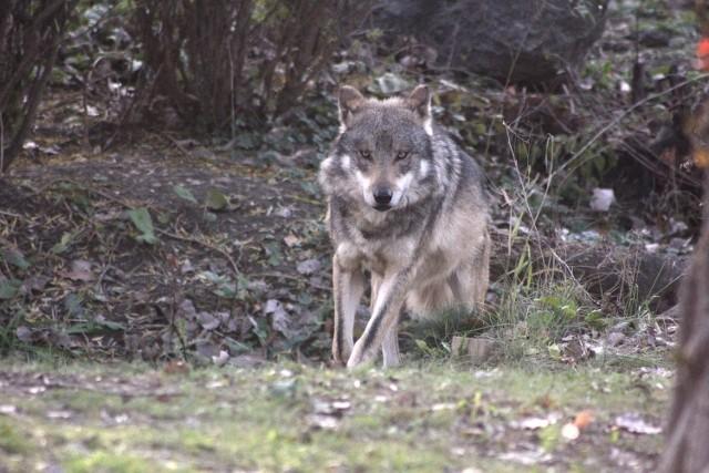 Wilki zadomowiły się na terenach położonych na południe od Tarnowa