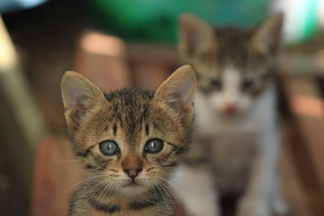 O zmianach w obowiązujących przepisach mówiono od dawna. Zaczęły one obowiązywać od 19 kwietnia br. Przygotowane zmiany przez Ministerstwo Sprawiedliwości to reakcja na liczne przypadki znęcania się nad zwierzętami oraz szokujące przykłady bestialskiego uśmiercania zwierząt. Wszystko konsultowane było z organizacjami zajmującymi się zwierzętami. - Pakiet zmian w ustawie o ochronie zwierząt oraz w Kodeksie karnym pozwoli przeciwdziałać takim brutalnym zachowaniom – informuje Ministerstwo Sprawiedliwości.  Co warto wiedzieć o zmianach w Ustawie o ochronie zwierząt? Sprawdźcie! Czytaj również: Pies ledwo uszedł z życiem [ZDJĘCIA]WIDEO: Tygrysy, lamparty, rysie i pumy w nielegalnej hodowli. Policja przejęła niemal 300 zwierzątźródło: TVN24/x-news